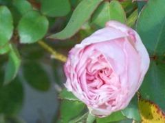 Rose mar 2013