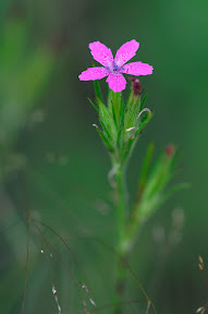 Deptford-Pink-wildflower.jpg