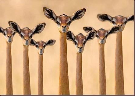 Amazing Animal Pictures Gerenuk (6)