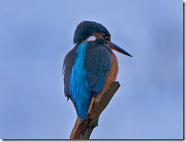 Kingfisher_3