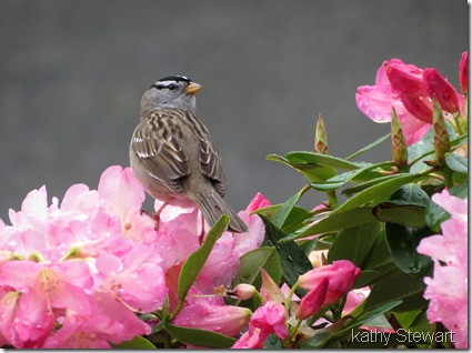 White-crowned Sparrow in Rhodo