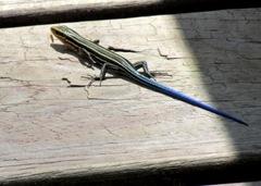 Blue Tail Skank