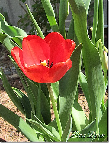 Tulip_Apledoorn_March29
