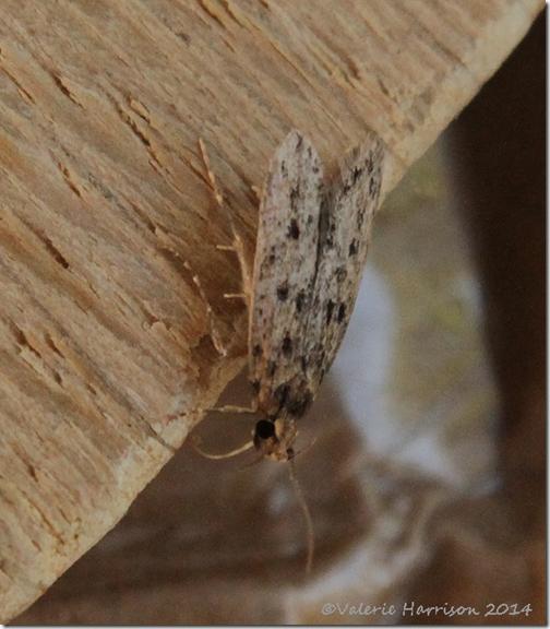 brown-house-moth