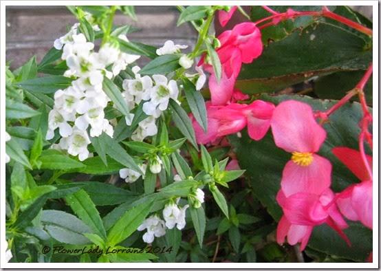 06-06-angelonia-begonia