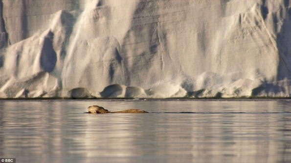 A polar bear gliding through the water in front of the Austfonna ice cap in Svalbard. Polar bears can swim for 60 miles in a day