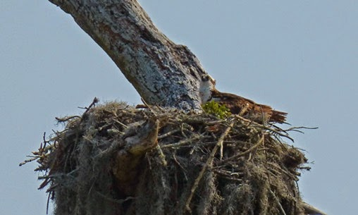 Osprey, near Holiday, Florida