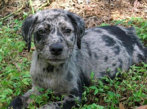 Blue Merle Catahoula Leopard Dog