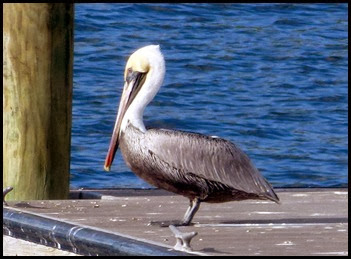 03b - E.G. Simmons - Wildlife - Pelican