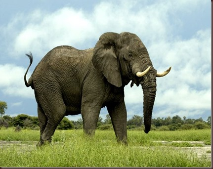 Amazing Animals Pictures Elephant (1)