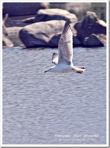 A Herring gull has lifted from the water.