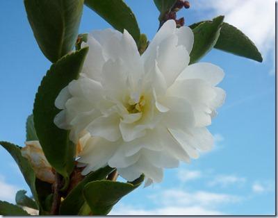 flowers - camellia1