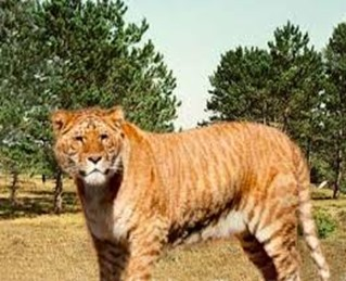 Amazing Pictures of Animals, photo, Nature, exotic, funny, incredibel, Zoo, Liger, Hybrid, Alex (5)