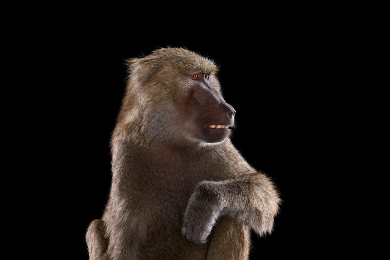 animal-photography-affinity-Brad-Wilson-baboon.jpeg