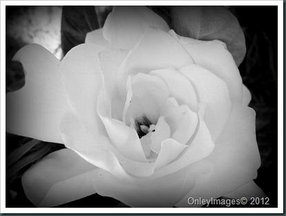 gardenia B&W