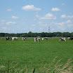 Koeien onderweg 03.JPG