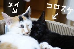 mei_korosuke