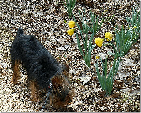 Aspen_Daffodils