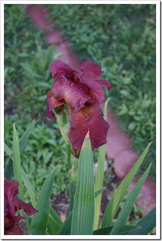 rust iris