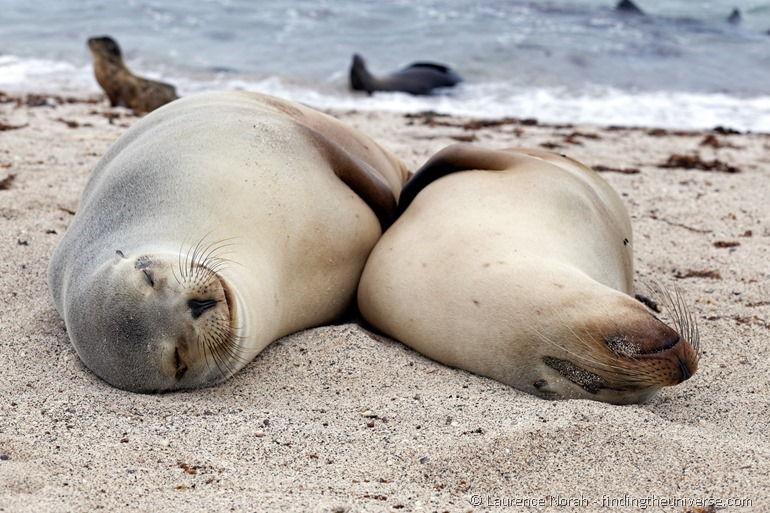 Lächelnde Seelöwen auf den Galapagos