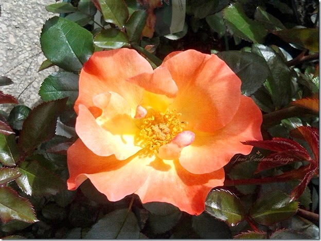 Rose_Phoebe