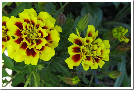 02-17-marigolds