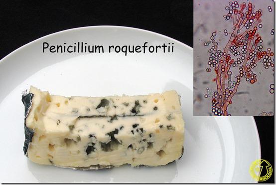 Penicillium_roqueforti
