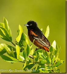 Orchard Oriole _ROT3190 Bombay Hook  May 10, 2011 NIKON D3S