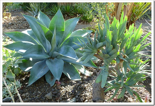 111008_rbg_agave_attenuata aloe_plicatilis