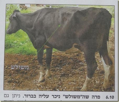 2011-01-09 Treif Cow 038