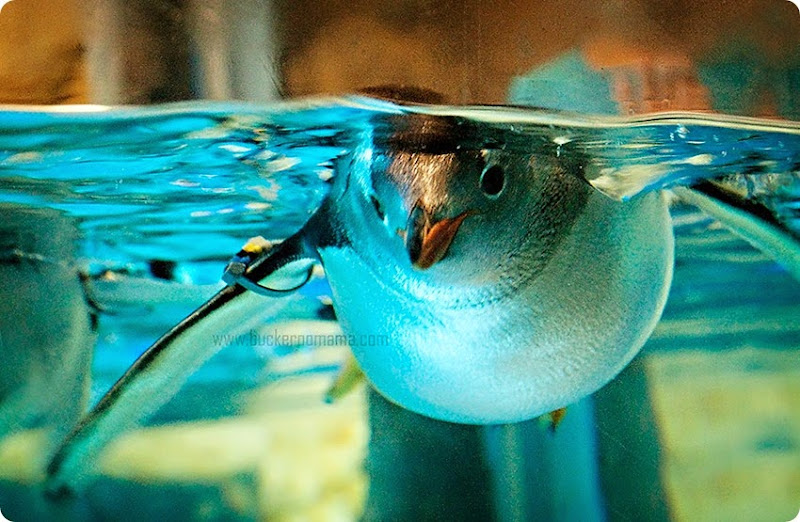 Penguin-(1)