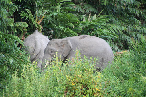 Borneo pygmy elephants