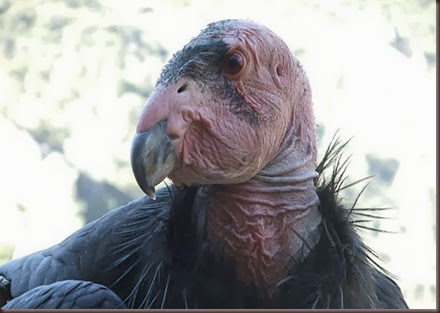 Amazing Animals Pictures California Condor (10)