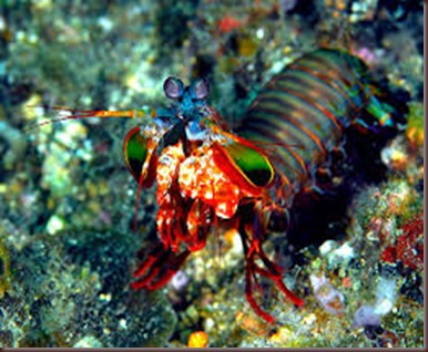 Amazing Pictures of Animals Mantis shrimp stomatopods crustaceans sea locusts (10)