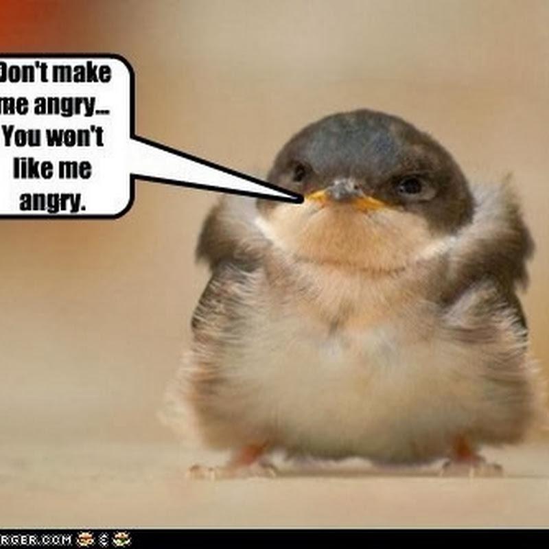 Burung Ini Adalah Angry Bird di Kehidupan Nyata