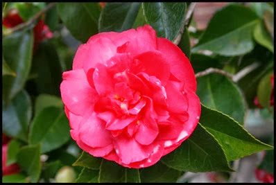 Camellia-japonica-Daikagura-Red