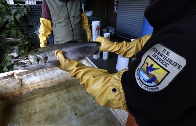 In this 20 October 2014, photo, Steve Damm, a biologist with the U.S. Fish and Wildlife Service, holds a salmon that died from four hours of exposure to unfiltered highway runoff water at the Grovers Creek Hatchery in Poulsbo, Wash. In the experiment, researchers placed live salmon in three tanks of water - unfiltered highway runoff, filtered highway runoff, and clear well water - fish exposed to the filtered runoff were still alive after 24 hours. Photo: TED S. WARREN / AP Photo