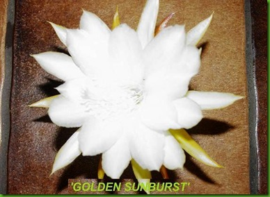 Epi Golden Sunburst