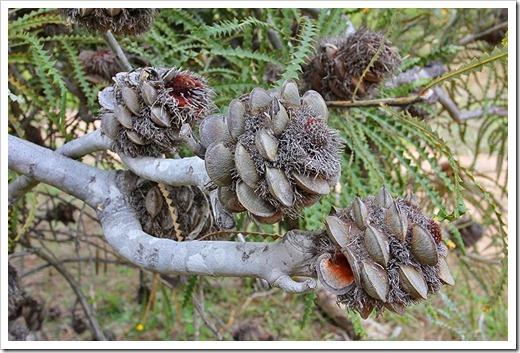 111015_Santa-Cruz_UCSCA_Banksia-speciosa_10