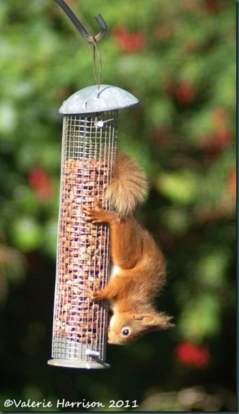 red-squirrel-upsidedown
