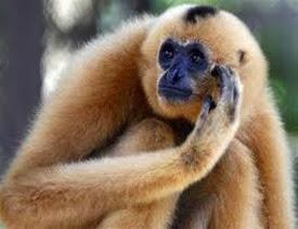 Amazing Pictures of Animals, Photo, Nature, Incredibel, Funny, Zoo, Gibbons, Hylobatidae, Primate, Mammals, Alex (10)