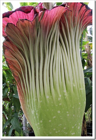 110625_Amorphophallus-titanum_17