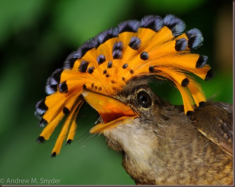 Amazing Animal Pictures Amazonian Royal Flycatcher (6)
