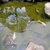鑑賞用に色や模様を改良されたニシキゴイ。日本の池には欠かせない。