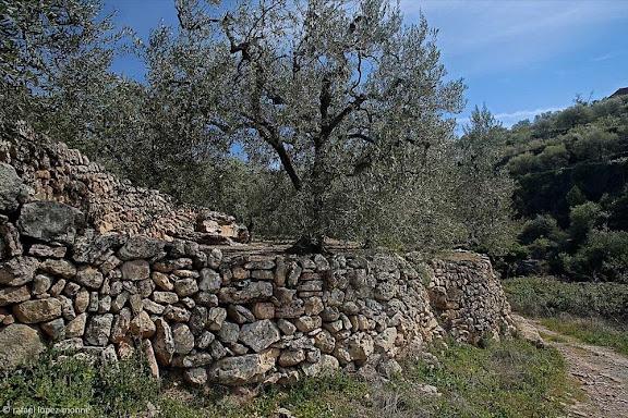Oliveres al camí del Barranc de la Cova Tornera,serra de Pradell,Pradell de la Teixeta, Priorat, Tarragona