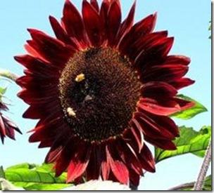 sunflowermoulinrouge300