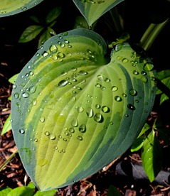 hostas.  I love them.