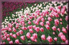 springbloom3clip1.jpg