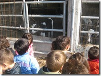 στις αγελάδες