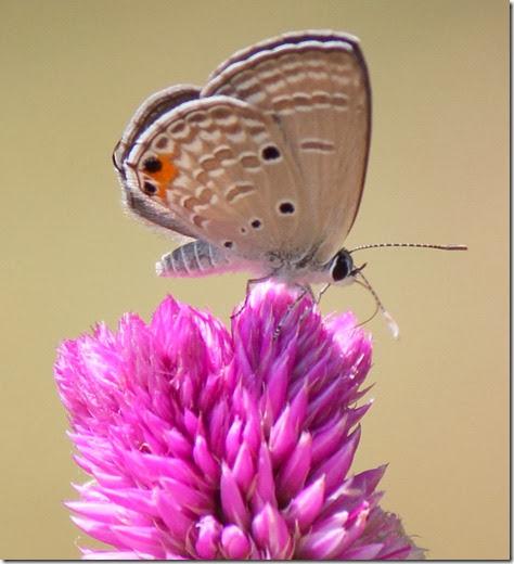 cycad blue on Celosia argentea